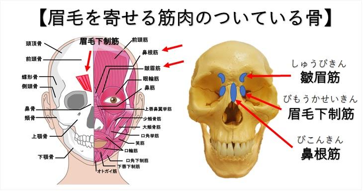 眉毛を寄せる筋肉とその付着部