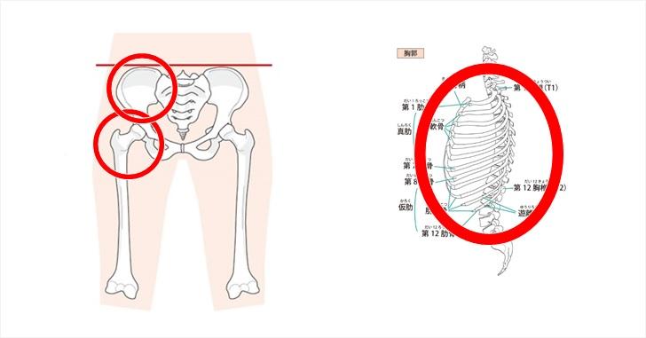 骨盤と股関節と胸郭の図示