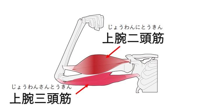 上腕二頭筋と上腕三頭筋の図