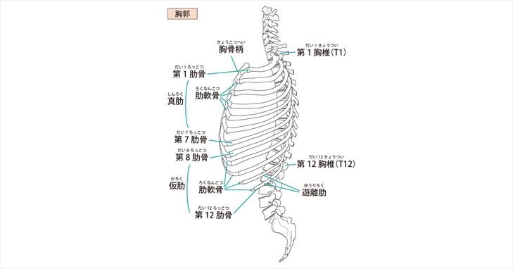 胸郭の図示