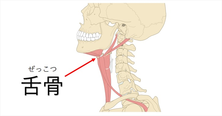 舌骨骨格図示