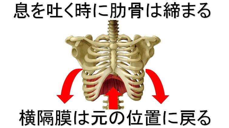 息を吐く時の肋骨と横隔膜の動き