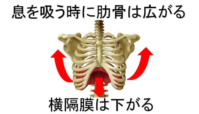 息を吸う時の肋骨と横隔膜の動き