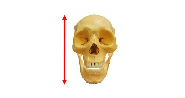 縦に長い顔の骨格
