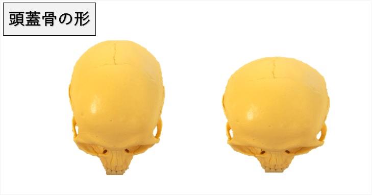 縦長と横長の頭蓋骨の形