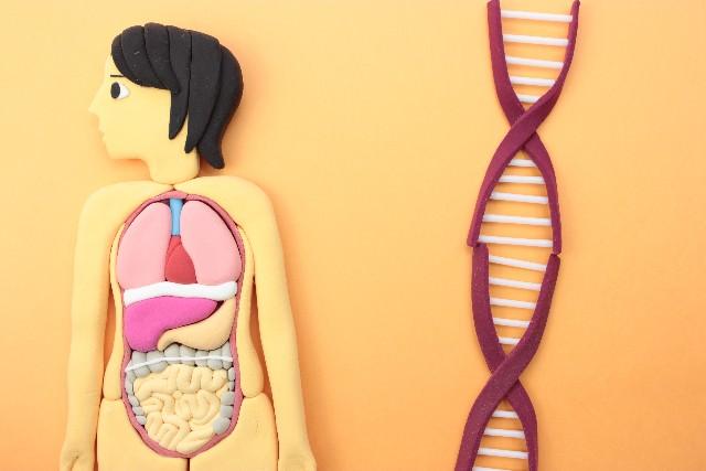 小顔を短期間でつくる遺伝子