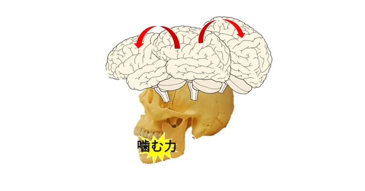噛む力は脳を揺らす可能性がある