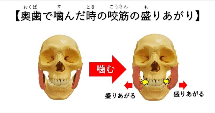 奥歯で噛んだ時の咬筋の盛り上がり