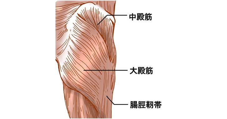 臀筋群図示