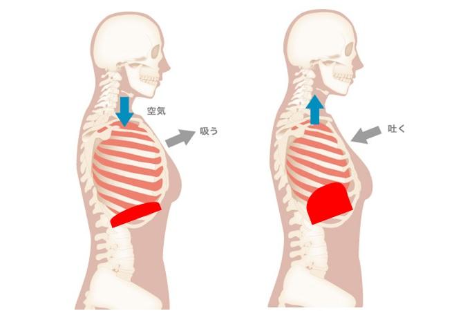 横隔膜の収縮と呼吸