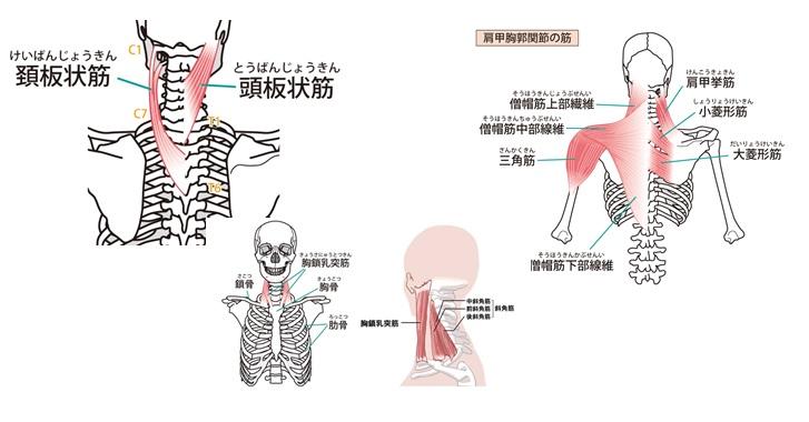 首を支える筋肉一覧
