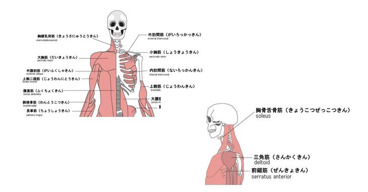 首を支える筋肉群