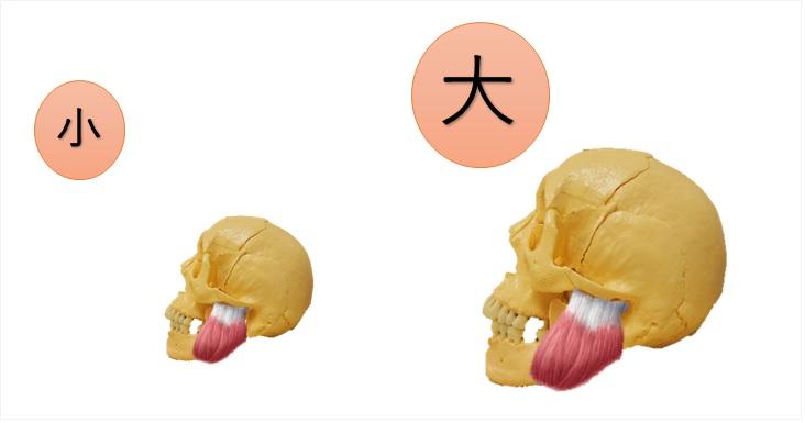 エラ骨と咬筋の関係性