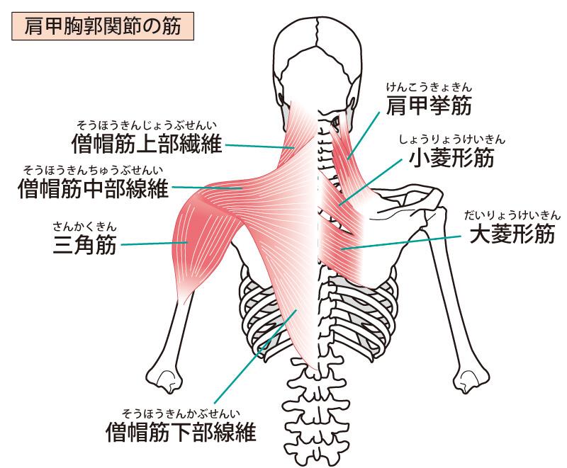 背部の筋肉のイラスト