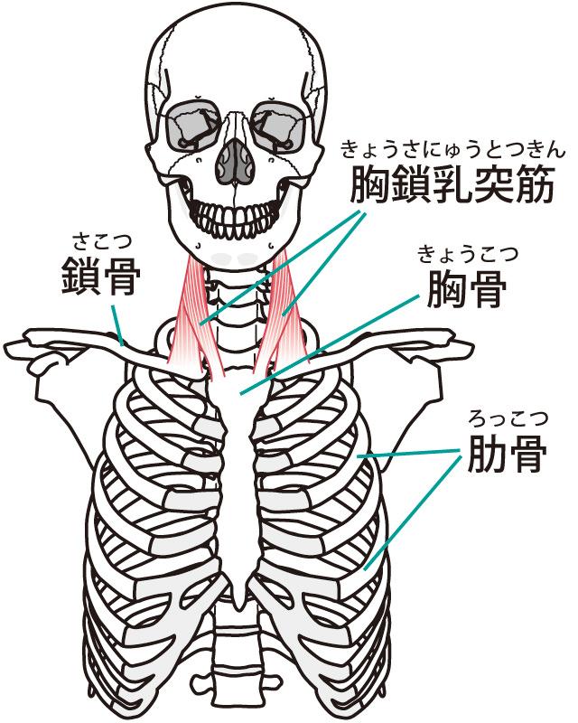 胸鎖乳突筋のイラスト