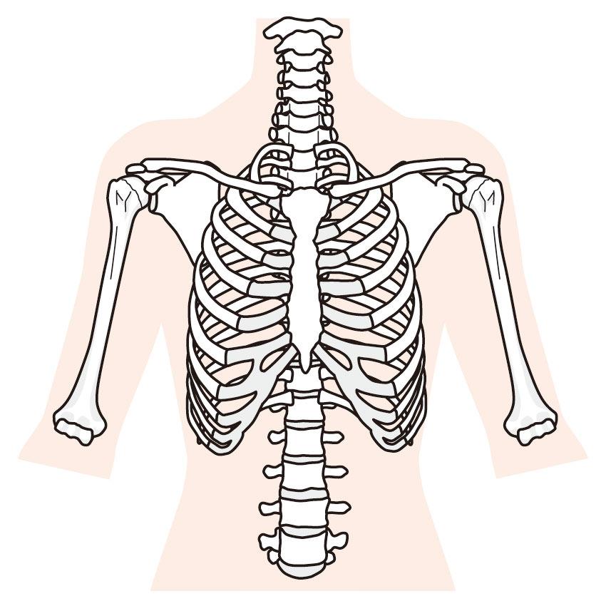 正常な肋骨のイメージ