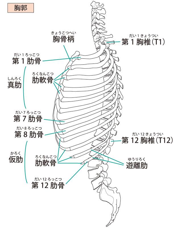 「胸郭出口症候群」|日本整形外科学会 症状・病 …