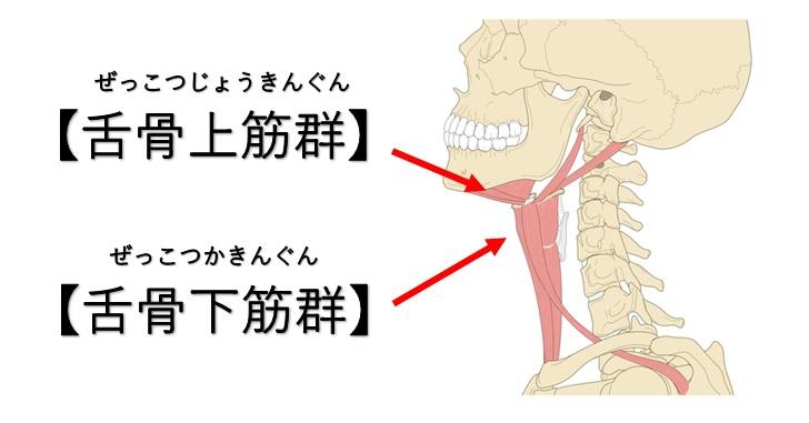 舌骨上筋群と舌骨下筋群の画像