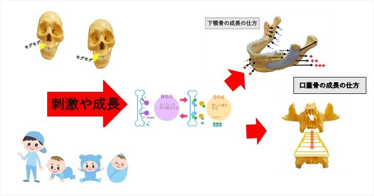 顔面骨が成長していく過程のイメージ画像