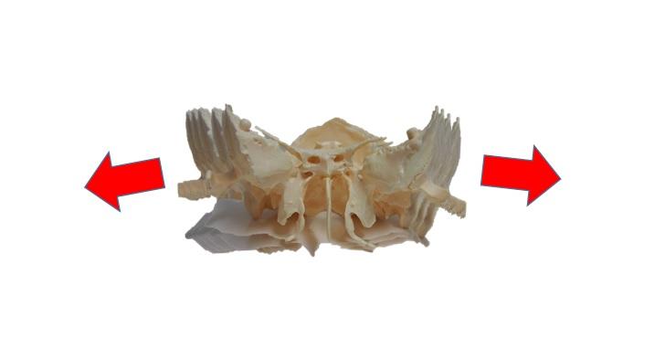側頭骨・蝶形骨リズム