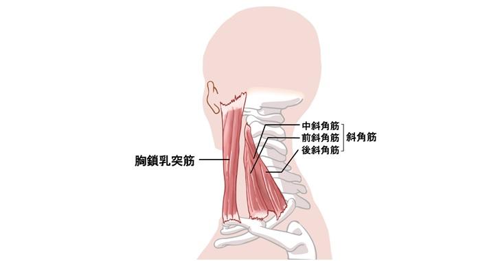 胸鎖乳突筋と斜角筋
