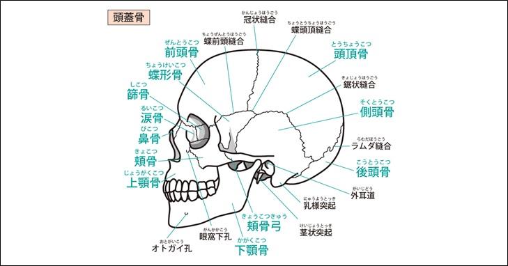顔面骨側面