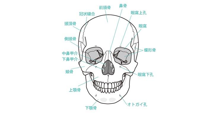 顔面骨前面