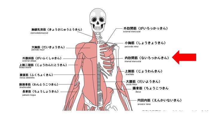 内肋間筋の図示