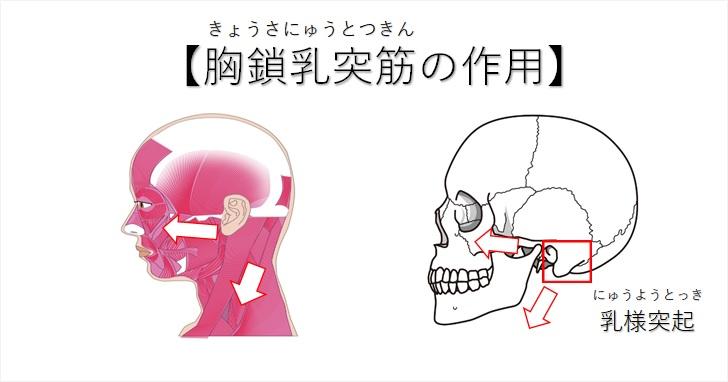 胸鎖乳突筋の側頭骨への作用機序