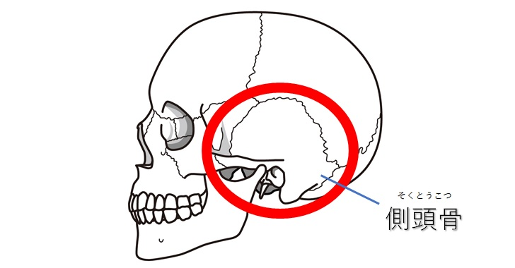 側頭骨だけ図示