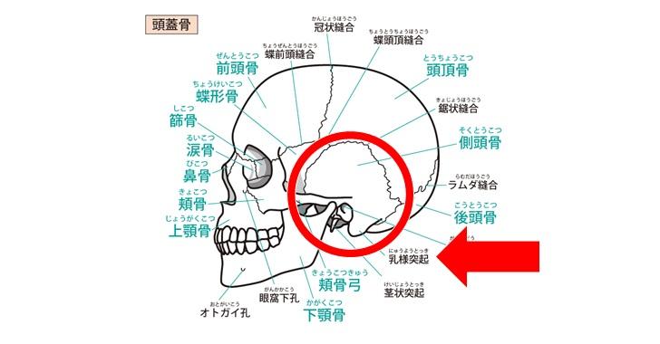 側頭骨の乳様突起図示