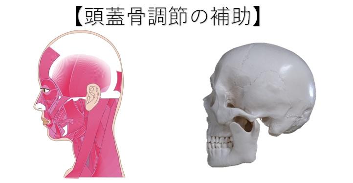 胸鎖乳突筋の働き【頭蓋骨】