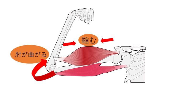 上腕二頭筋による関節が動く例