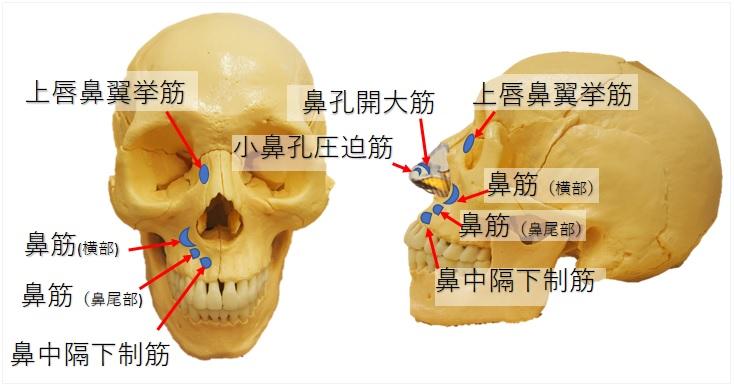 鼻の筋肉の付着部
