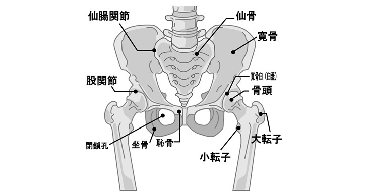 骨盤の解剖図