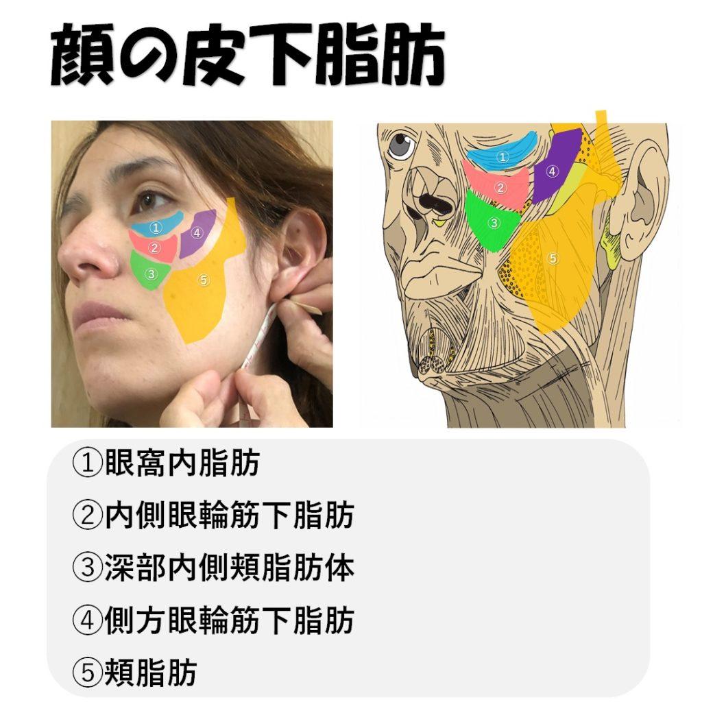 顔の皮下脂肪
